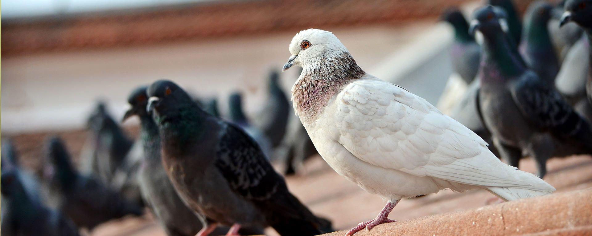 disinfestazione piccioni